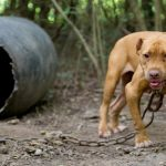 Dog Fighting Charge And Conviction Gets Florida Man 30 Years In Federal Prison